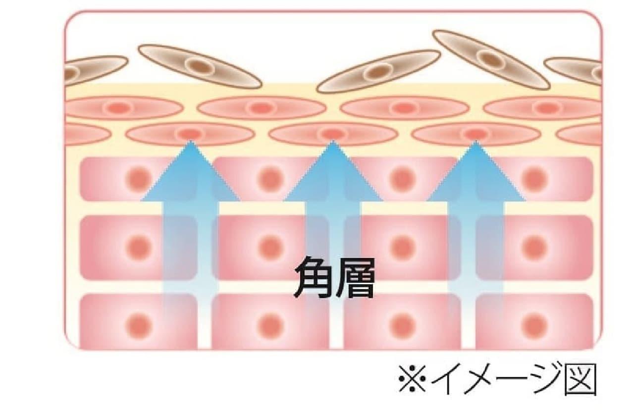 角層のターンオーバー図