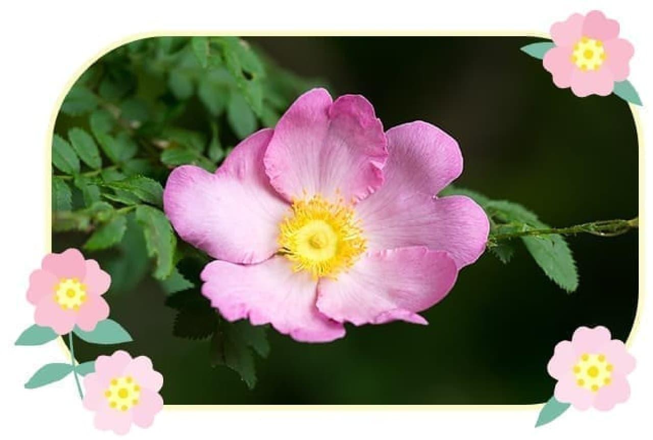 箱根ルルルンに使われている箱根バラ